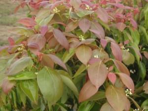 Ravintsara en fleurs