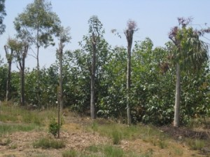 Arbres de 5 ans taillés pour la récolte