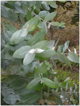 eucalyptus globuleux feuille